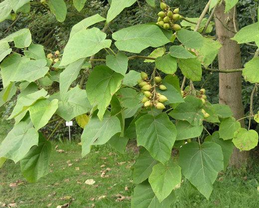 کاشت درخت «پالونیا »ممنوع یا آزاد