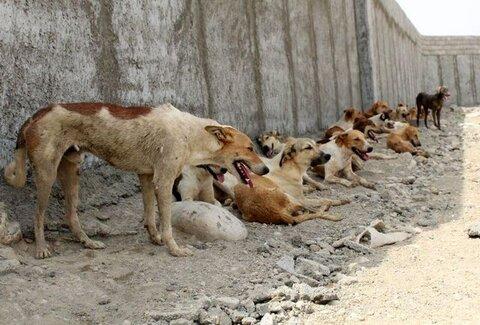 زنده گیری و جمع آوری ۱۷۵ قلاده سگ در جنوب غرب تبریز