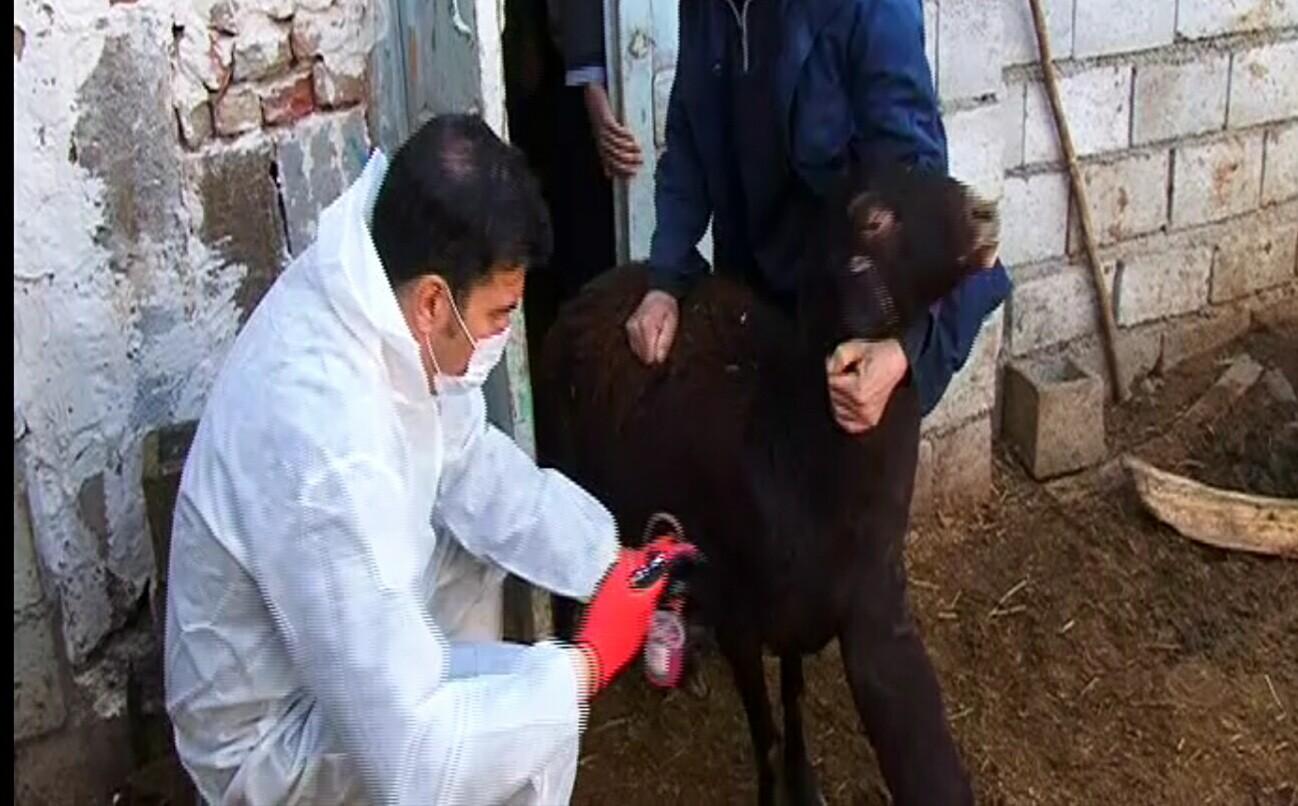 واکسیناسیون دامی علیه بیماری طاعون در آذربایجان شرقی