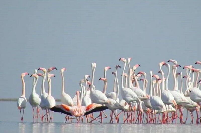کاهش فلامینگوها در دریاچه ارومیه