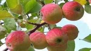 روانه شدن سیب نوبرانه تابستانه مراغه به بازار