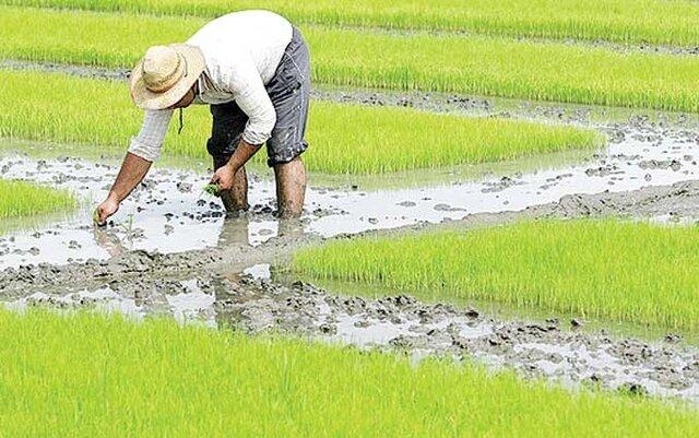 رئیس سازمان جهاد کشاورزی آذربایجان شرقی از پیش بینی برداشت ۳۰ هزار تن شلتوک در استان خبر داد و گفت: حدود ۱۸ هزار تن برنج سفید از این شلتوکها به دست خواهد آمد.
