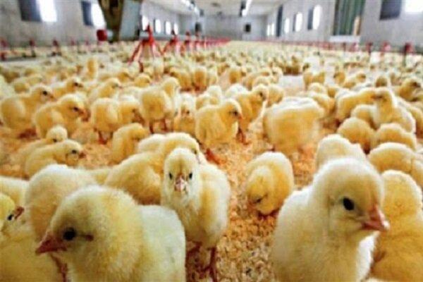 ۴۲۰ هزار قطعه مرغ گوشتی در مرغداری های نقده جوجه ریزی شد