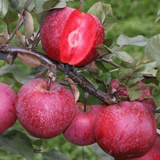 آغاز برداشت سیب از باغات مشگینشهر