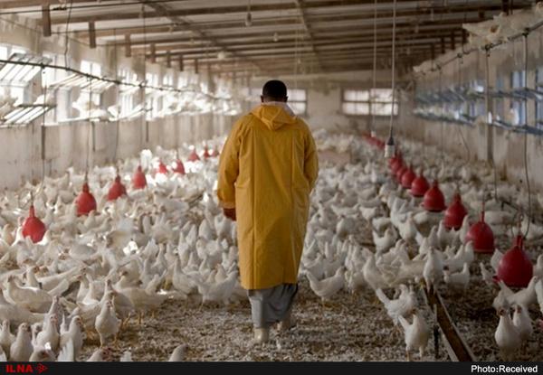 قیمت مرغ از 13 هزار تومان گذشت/ قیمتها به دلیل توزیع مرغ یخی کاهش مییابد