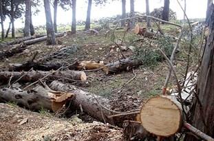 شورای شهر در ماجرای قطع درختان تبریز سکوت کرد