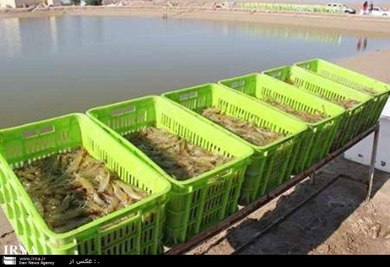 تولید میگوی پرورشی در بوشهر 40 درصد افزایش یافت