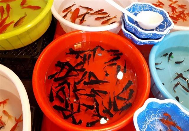 ماهیهای قرمز را در رودخانهها و سدها رهاسازی نکنید
