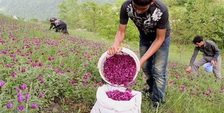رتبه نخست ایران در صادرات 7 گیاه دارویی