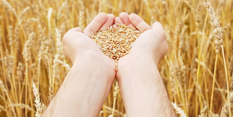 خرید 650 هزار تن از گندم مازاد بر نیاز کشاورزان