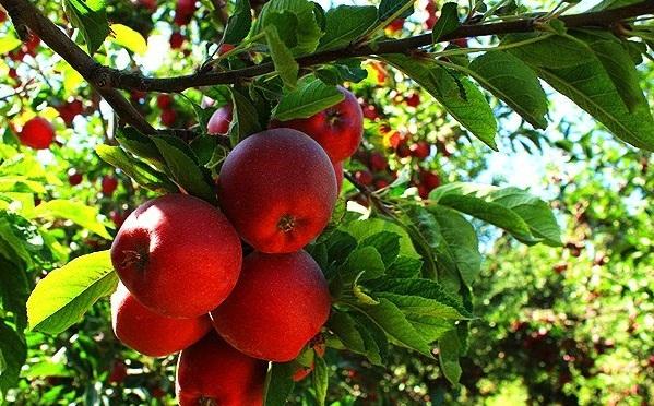 سرما به 3700 هکتار از باغات سیب اهر آسیبزد