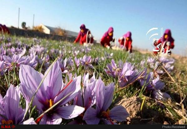 جلوگیری از خروج پیاز زعفران حفظ میراث ژنتیکی هزار ساله
