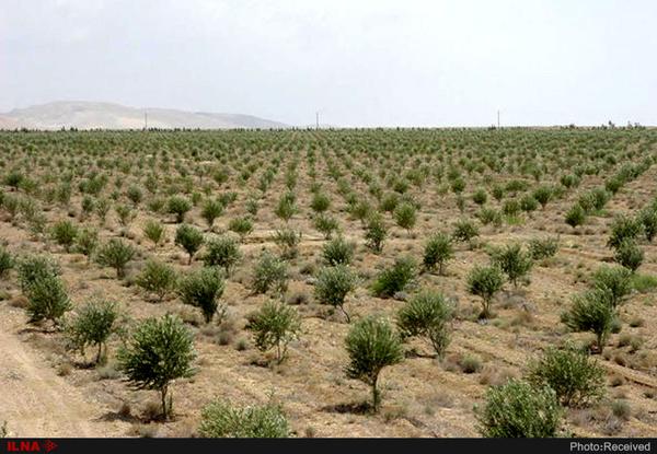 ۱۲۰ هزار تن زیتون امسال در کشور تولید میشود