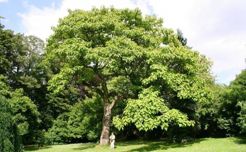 ترویج کاشت درخت «پالونیا »در شمال کشور فرصت یا تهدید