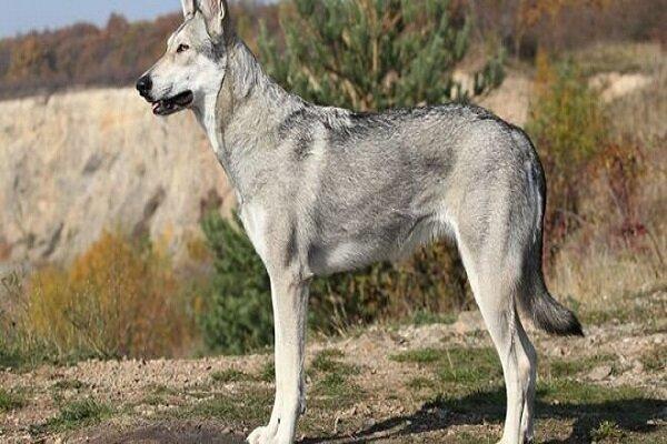 «گرگاس ها» و وحشتی که به جان تسوج انداختهاند
