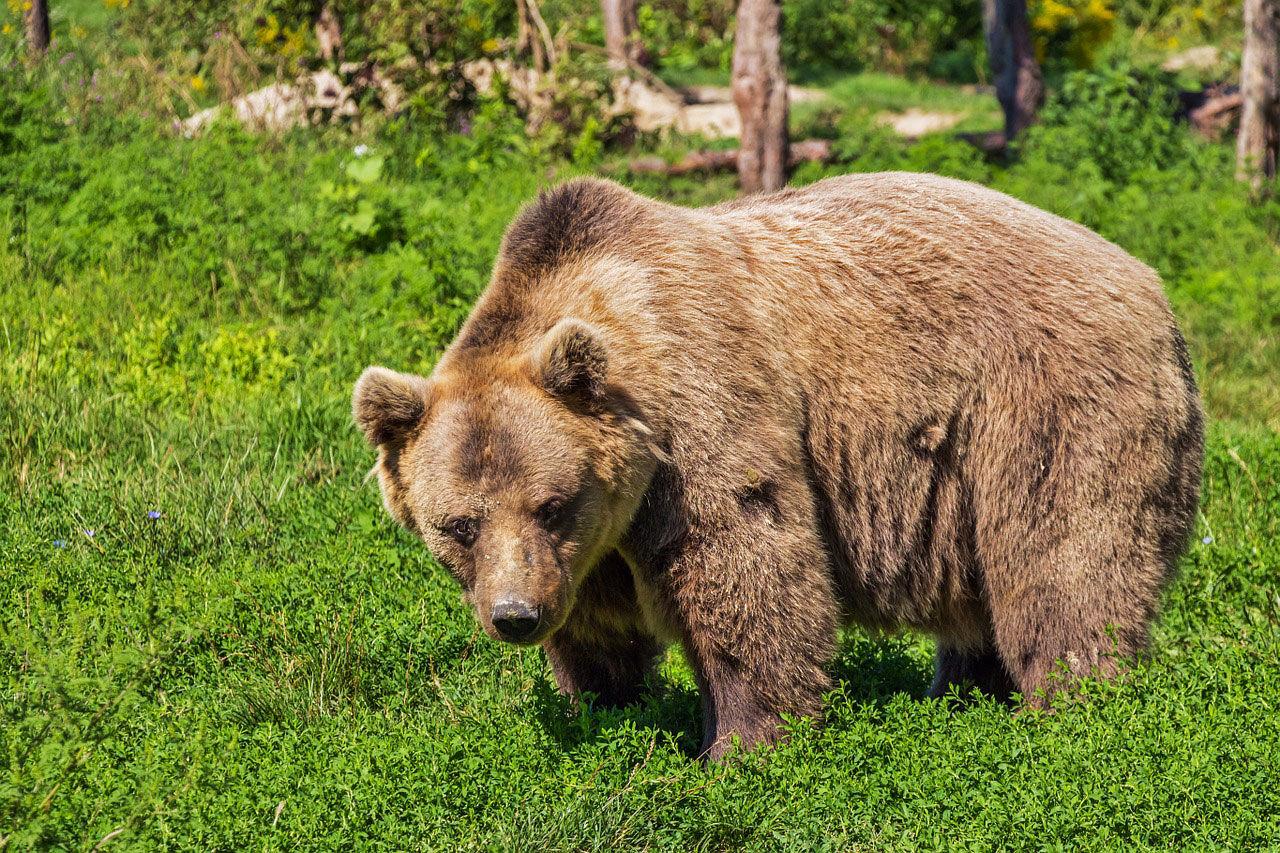 ضرورت حفاظت از قلمروی خرس قهوهای در آذربایجانشرقی