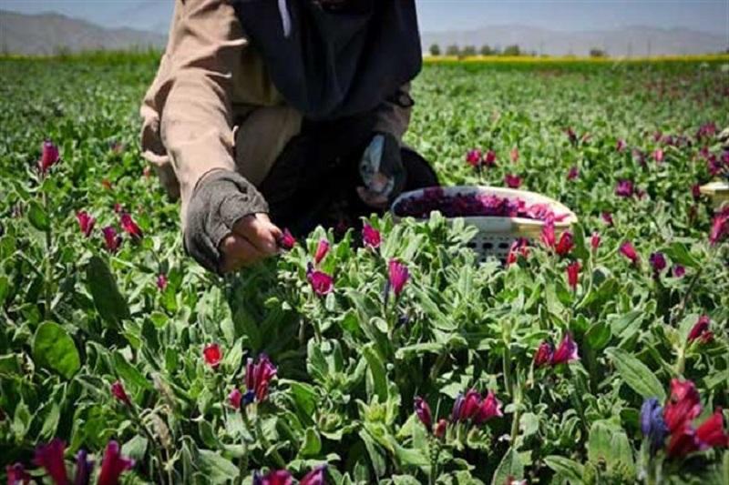 کشت گیاهان دارویی، ثروت رو به رشد در خراسان رضوی