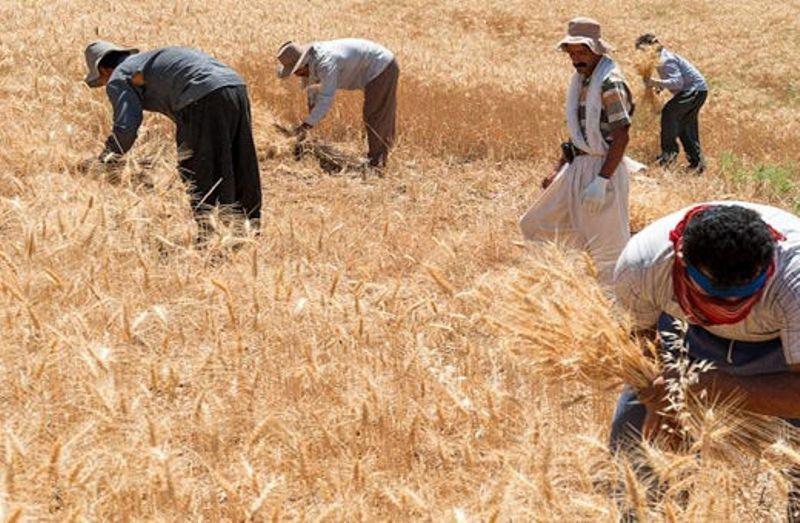 گندمی که به دولت فروخته نشد نصیب واسطهها شد؟